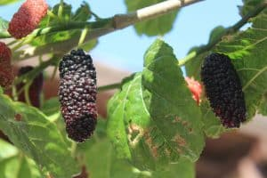 types-of-mulberry-trees