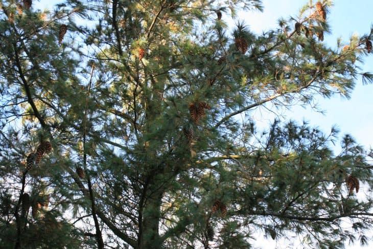 Mexican Pine Pinus Ayacahuite