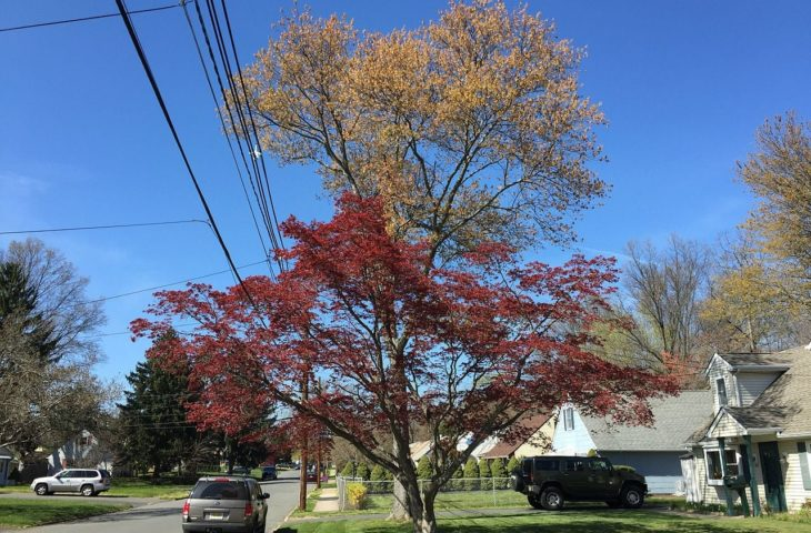 3 Common Types Of Maple Trees In New Jersey Progardentips