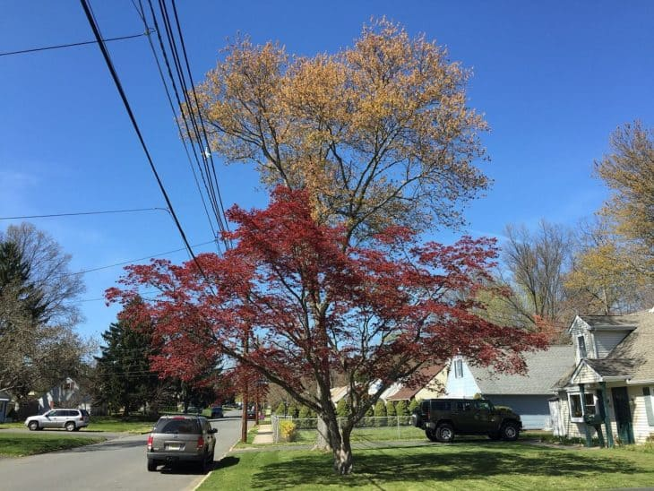A Japanese Maple foreground and Red Maple background during spring along Terrace Boulevard in Ewing New Jersey