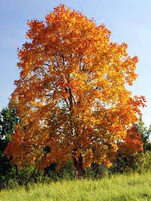 Acer truncatum X A platanoides