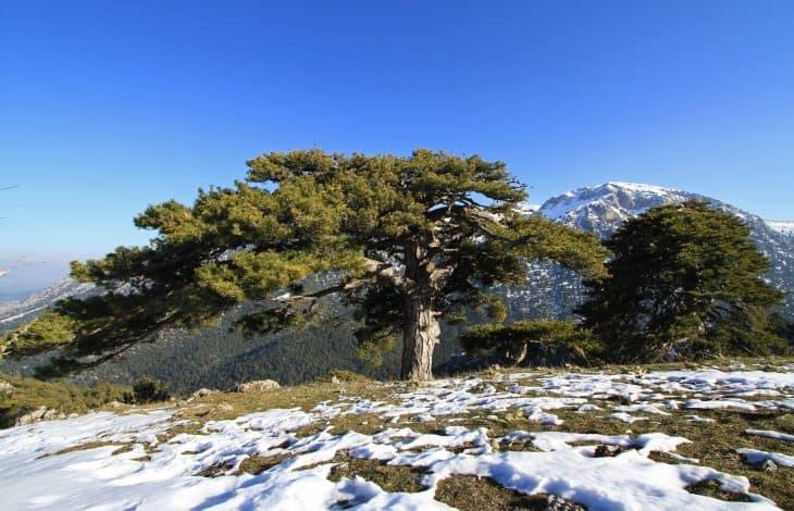 Austrian Pine Pinus nigra