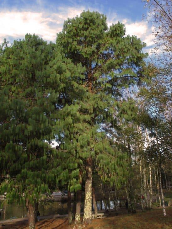 Blue Pine Pinus Wallichiana