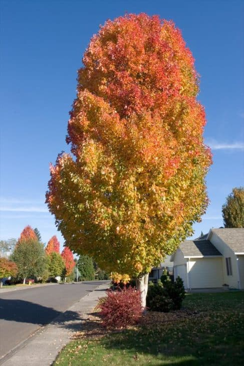 Bowhall Red Maple (acer rubrum 'bowhall')
