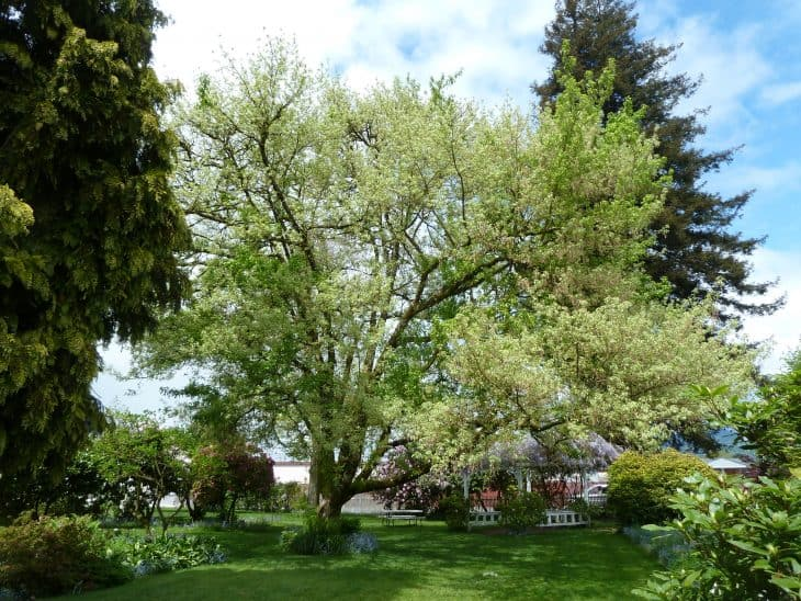 Box Elder Maple acer negundo in spring