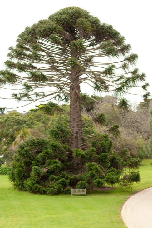 Bunya Pine Araucaria bidwillii
