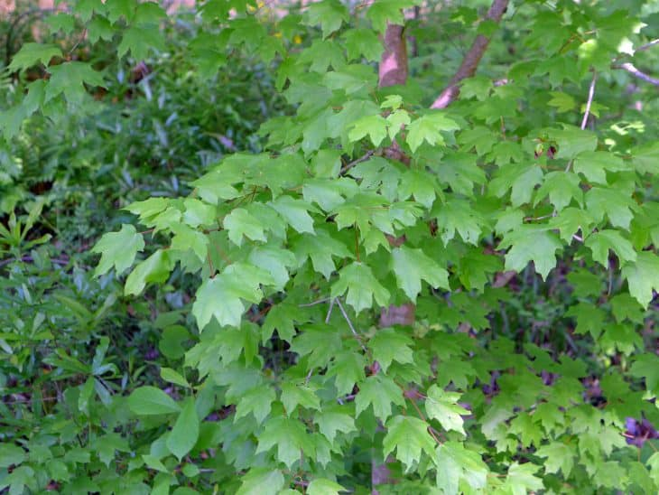 Chalk Maple acer leucoderme summer color