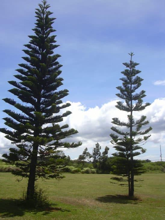 Cook Pine Araucaria Columnaris