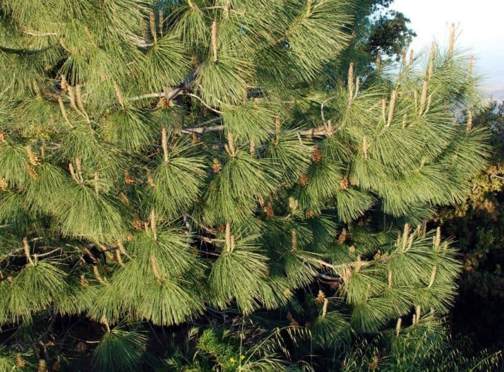 Coulter Pine Pinus Coulteri foliage