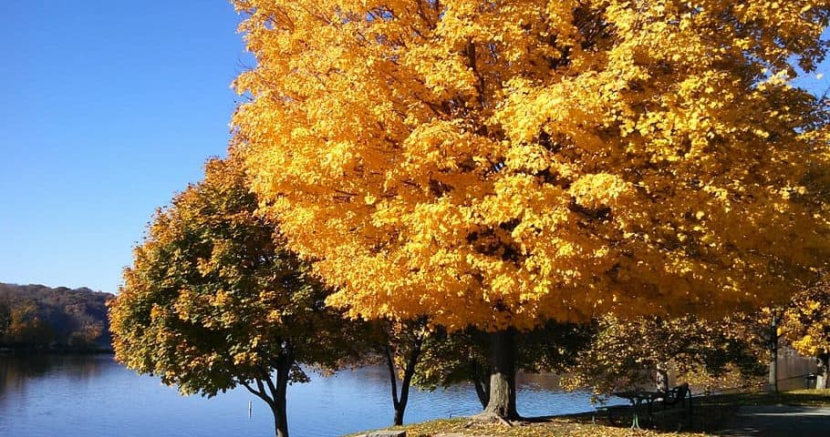 Fall colors of Maple trees at Lake MacBride in Iowa