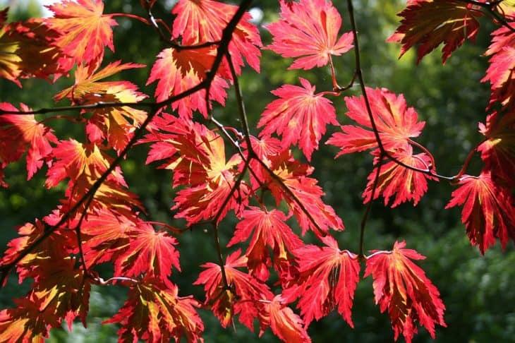Fern Leaf Maple Acer japonicum Aconitifolium