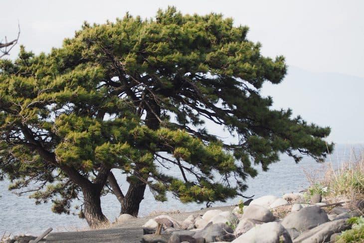 Japanese-Black-Pine-Pinus-thunbergii