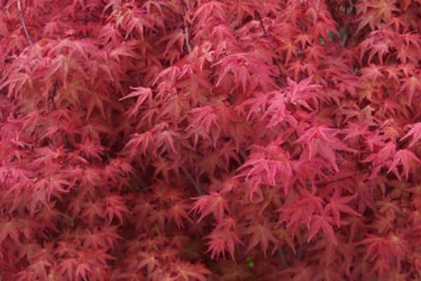 Japanese Bonfire Maple acer palmatum