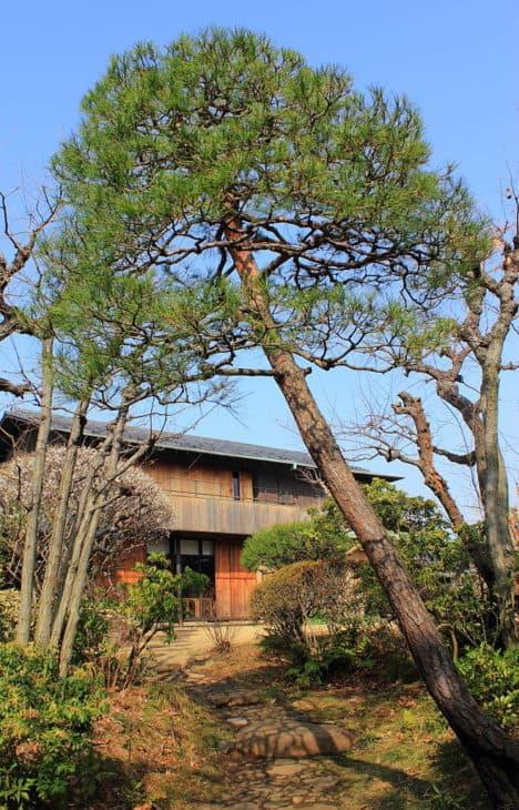 Japanese Red Pine Pinus Densiflora