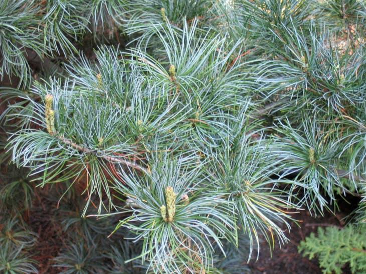 Japanese White Pine Pinus Parviflora