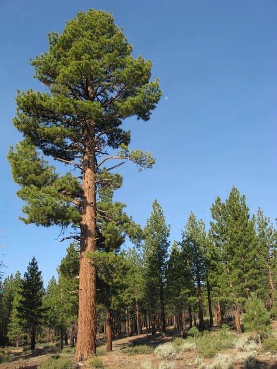 Jeffrey Pine Pinus Jeffreyi