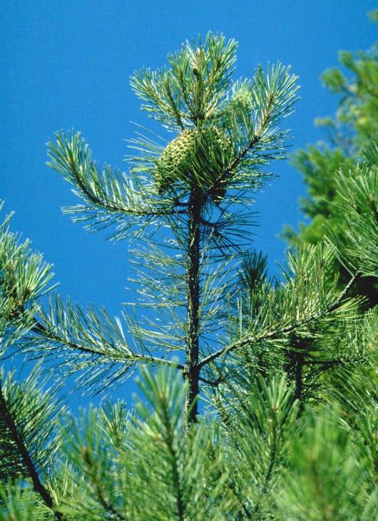 Knobcone Pine Pinus Attenuata