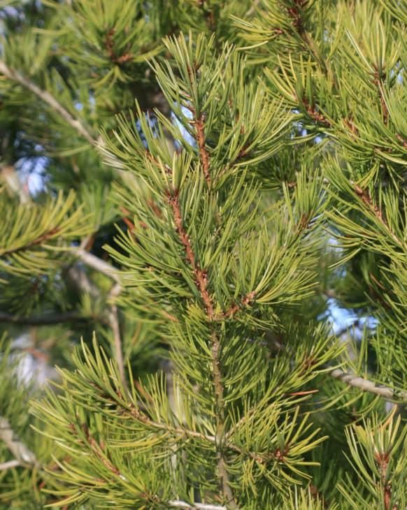 Lacebark Pine Pinus Bungeana foliage