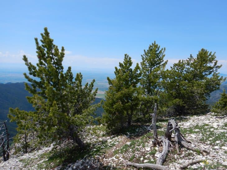 Limber Pine Pinus Flexilis