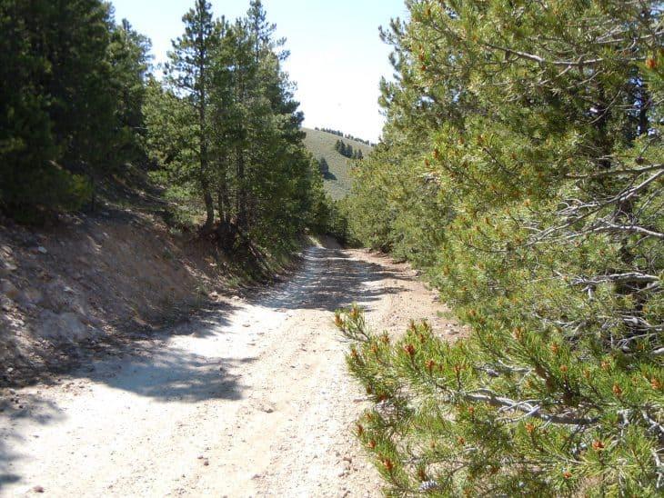 Lodgepole Pine Pinus Contorta Var. Latifolia