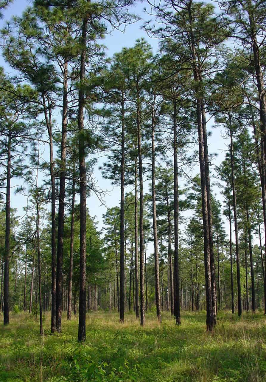 Longleaf-Pine-Pinus-palustris-Mill.