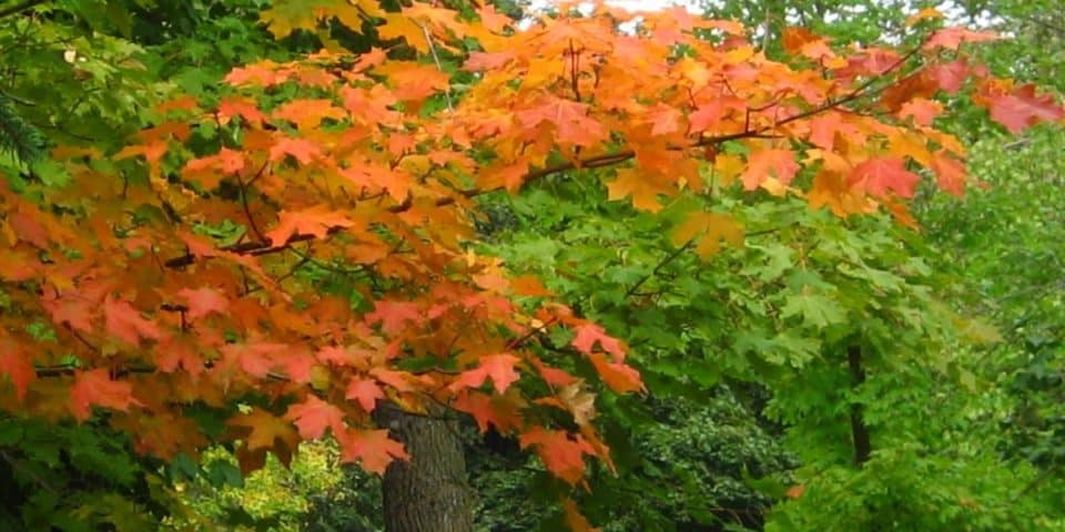 Maple tree changing its colors in Saint Cloud Minnesota