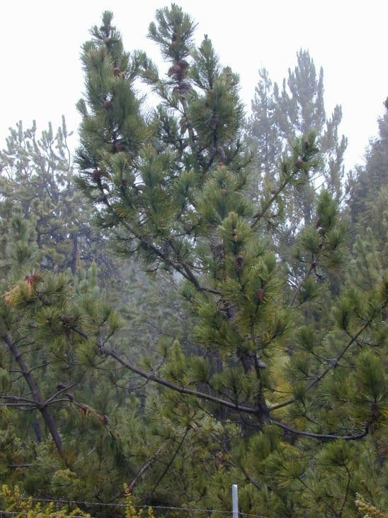 Maritime Pine Pinus Pinaster