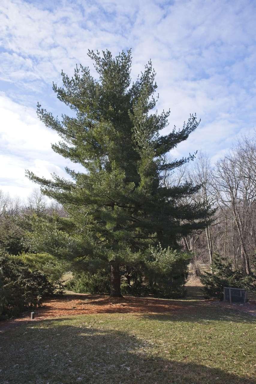 Mature Eastern White Pine Pinus Strobus