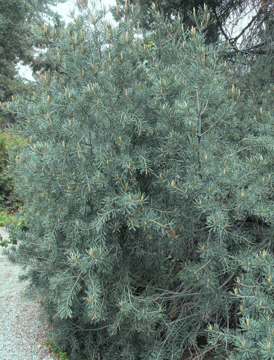 Parry Pine Pinus Quadrifolia