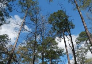 Pine Forest in Castor Plunge Louisiana