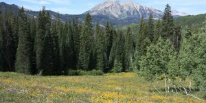 Pine Trees in Colorado