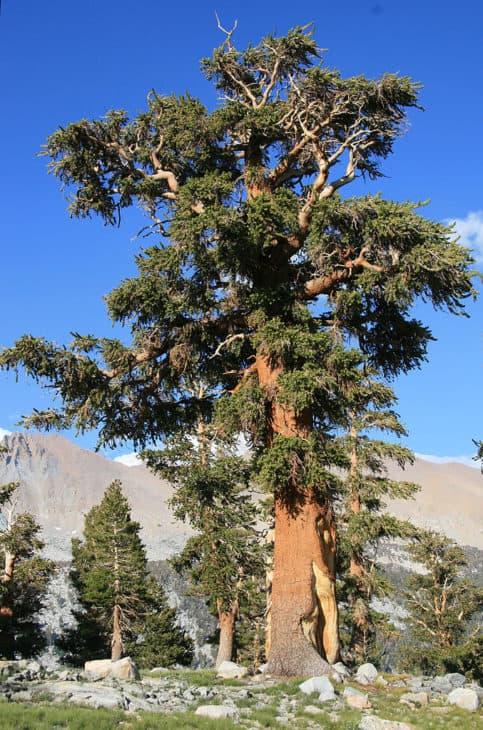 Pinus Balfouriana Austrina in Sierra Nevada