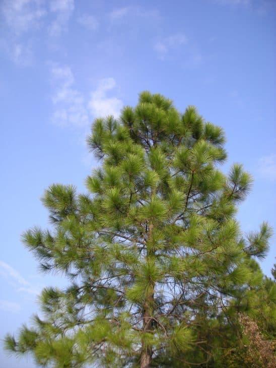 Mason Pine (Pinus massoniana)