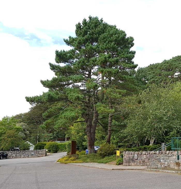 Pinus muricata Bishop Pine