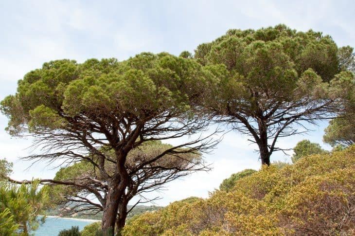 Stone Pine (Pinus pinea)