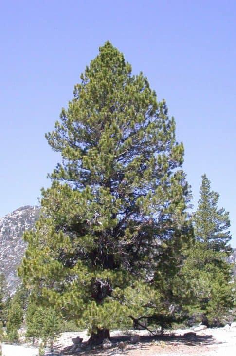 Washoe Pine (Pinus washoensis)