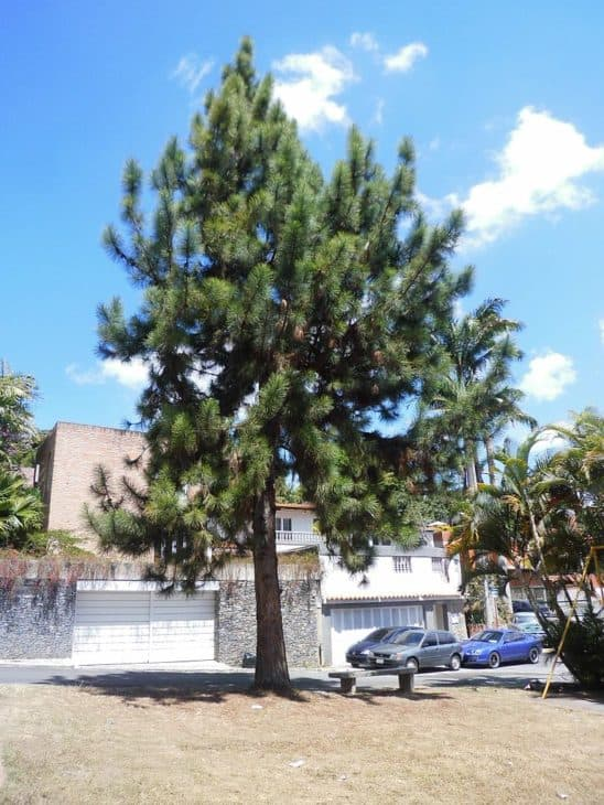Caribbean Pine (Pinus Caribaea)