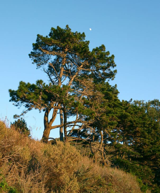 Pinus radiata in BigSur