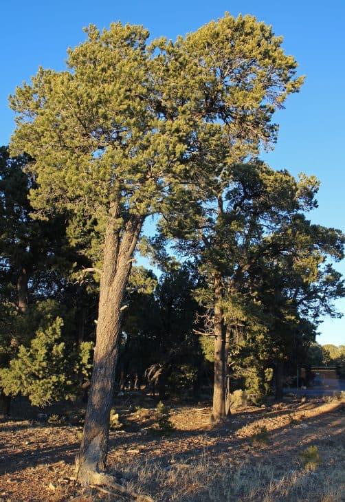 Pinyon pines Pinus edulis