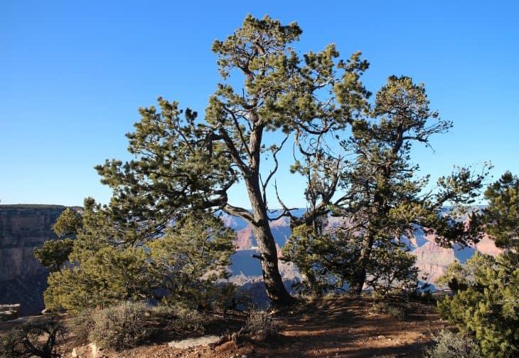 Pinyon pines Pinus edulis in Grand Canyon National Park