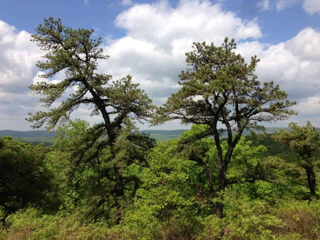 Pitch-Pine-Pinus-Rigida