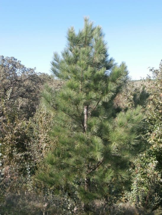 Pitlolly Hybrid Pine