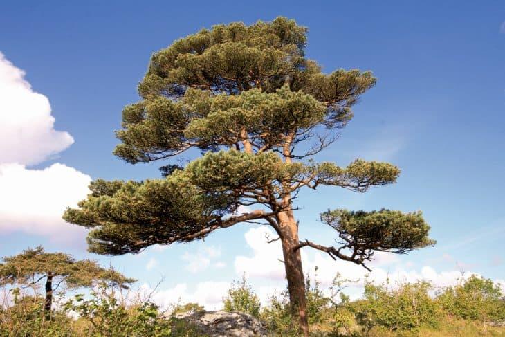 Scots Pine Pinus Silvestris