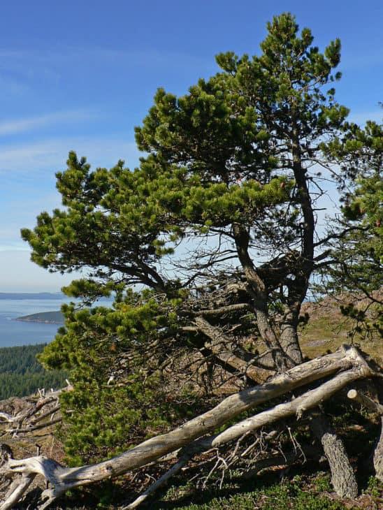 Shore Pine Lodgepole Pine Pinus Contorta