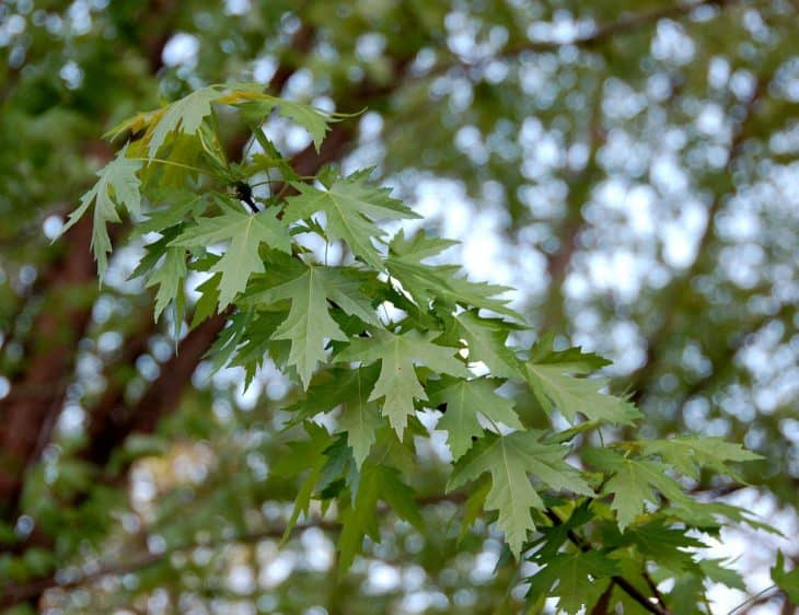 Silver Maple acer saccharinum leaves