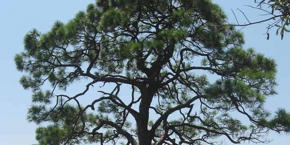 Slash Pine Pinus elliottii Engelm 1