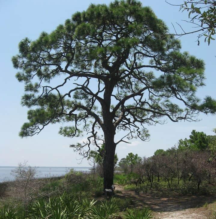 Slash Pine Pinus elliottii Engelm