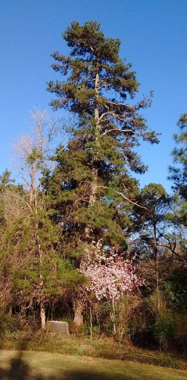 Spruce Pine Pinus glabra Walter