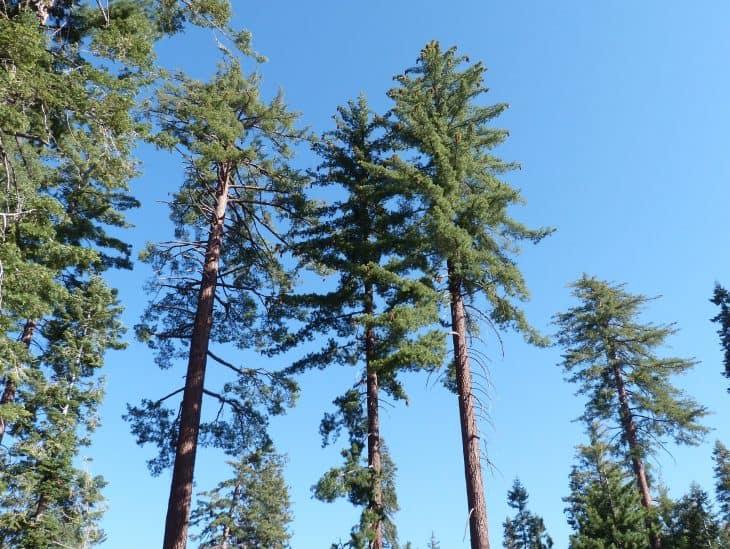 Sugar Pine Pinus Lambertiana Douglas 1