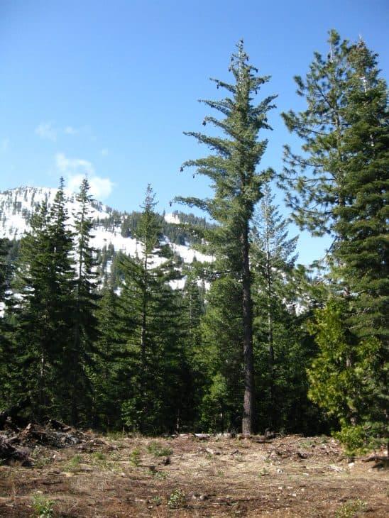 Sugar Pine Pinus Lambertiana Douglas